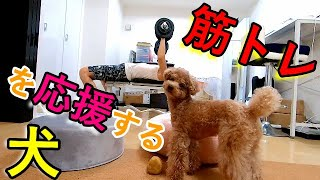 パパの筋トレに付き合って応援してくれる犬がかわいいw【トイプードル】