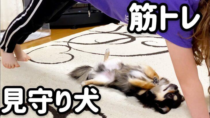筋トレに参加する犬w【チワワ】【chihuahua】【ブラックタン】【多頭飼い】