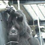 高い所で筋トレ💗ゴリラのキンタロウ【京都市動物園】